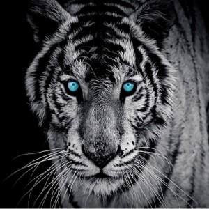 Tapete Doma foto tapeta Tigar 60008-40